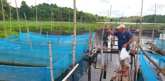 Adan Phari, president of Lake Tumingay Aqua Farmers Association feeds the fingerlings in one of the hatchery ponds inside their project site in Purok Masigay, Tapayan, Sultan Mastura, Maguindanao. ALEXANDER D. LOPEZ