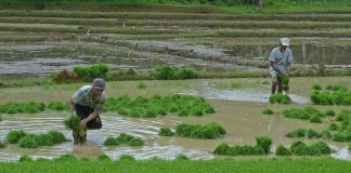 Farmers prepare to plant rice in Pres. Roxas, North Cotabato. Photo courtesy of everydaynorthcotabato.com