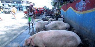 LIVE SALE. Pigs sold outside Sta. Ana Port in Davao city are 'freshened up' by a swine trader as temperature went up yesterday afternoon. Hogs and other livestock animals from the Island Garden City of Samal are being brought to Davao City as the demand in the city increased because of the yuletide season. LEAN DAVAL JR.