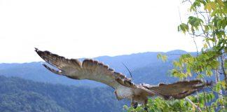 FREEDOM. A juvenile Philippine Eagle is freed to its habitat Tuesday, January 31, a month after rehabilitation by the Philippine Eagle Center. (Edgardo Calderon of CENRO Kiamba for SARANGANI INFORMATION OFFICE)