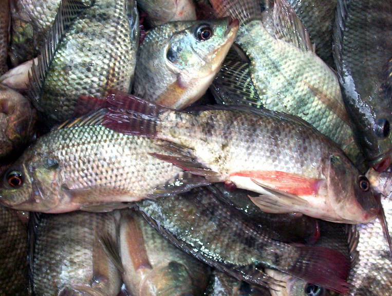 Science tilapia to eat or not to eat edge davao for What do tilapia fish eat