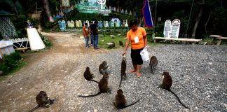 Tourist guide Virginia Laniohan feed the monkeys in Barangay New Israel, Makilala, North Cotabato. Mindanews File Photo by Ruby Thursday More
