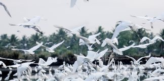 Hundreds of Chinese Egrets hunt shrimps on the drained pond in Barangay Caganghohan in Panabo City on Thursday, April 9. Mindanews Photo