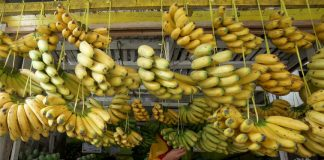 STRAIGHT FROM THE FARM. A store worker displays freshly harvested bananas at a fruit stall in Agdao, Davao City on Thursday. Among the 60 commodities that the Davao region is exporting, fresh bananas ranked as the top commodity in 2016 according to PhilExport Davao. LEAN DAVAL JR.