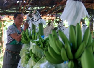 CENTER STAGE ANEW. A plantation worker removes the plastic covering of bananas that are used to protect the fruits from pests at a plantation in Sto. Tomas, Davao del Norte. Davao City will once again host the Philippine Exporters Confederation, Inc. (PHILEXPORT)'s Banana Congress on October 12 to 13 at SMX Convention Center which aims to discuss important topics that affects the industry. LEAN DAVAL JR.