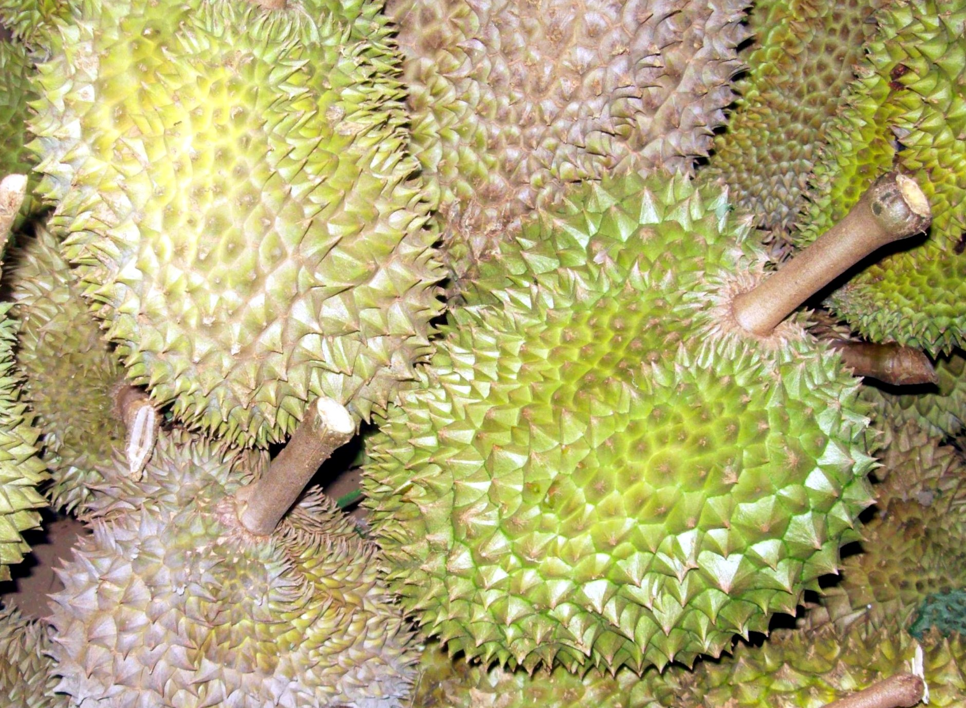 durian davao s controversial fruit edge davao