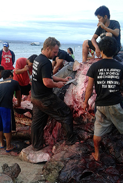 DETERMINED TEAM. Darrell Blatchley (center) of the Bone Collector Museum in Davao City led his team in the process of cleaning and eventually to preserve the skeleton of the seven-year old, 38-feet long male sperm whale that died and discovered by fishermen on Saturday in the area of Samal Island in Davao del Norte. ALEXANDER D. LOPEZ