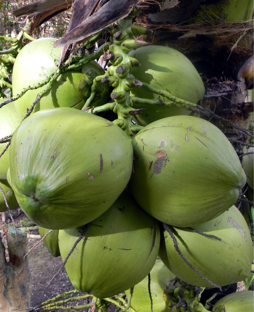 coconut: major export crop of filipino farmers